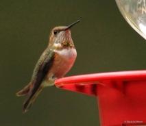 rufous hummingbird IMG_2022 MdB