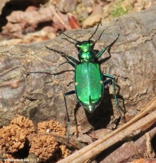 six-spotted tiger beetle IMG_5664