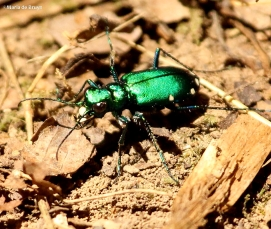 six-spotted tiger beetle IMG_6894©Maria de Bruyn