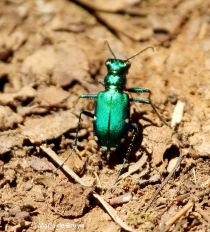 six-spotted tiger beetle IMG_6905©Maria de Bruyn