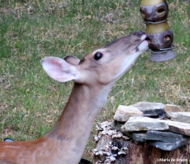 White-tailed deer IMG_0469©Maria de Bruyn