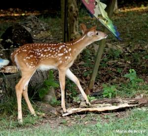 White-tailed deer IMG_3485©Maria de Bruyn