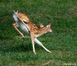White-tailed deer IMG_3523©Maria de Bruyn