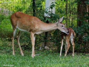 White-tailed deer IMG_3548© Maria de Bruyn