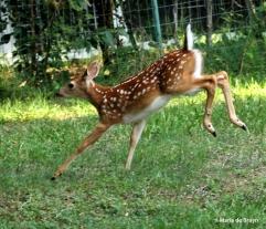 White-tailed deer IMG_3571© Maria de Bruyn