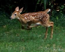 White-tailed deer IMG_3596© Maria de Bruyn