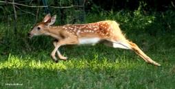 White-tailed deer IMG_3597© Maria de Bruyn