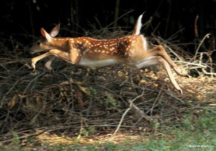 White-tailed deer IMG_3599© Maria de Bruyn