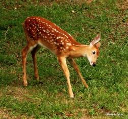 White-tailed deer IMG_7385©Maria de Bruyn