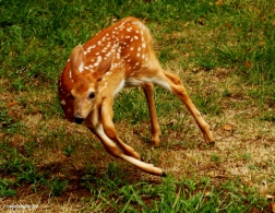 White-tailed deer IMG_7393©Maria de Bruyn