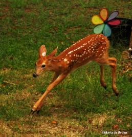 White-tailed deer IMG_7430©Maria de Bruyn