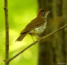 wood thrush IMG_5416©Maria de Bruyn blog