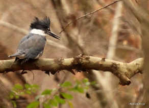 Belted kingfisher IMG_5329©Maria de Bruynres