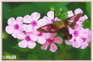 Clearwing moth first photo©Maria de Bruyn