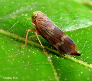 Coppery leafhopper IMG_2160©Maria de Bruyn