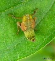 Coppery leafhopper nymph IMG_2058©Maria de Bruyn