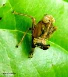 Coppery leafhopper nymph IMG_2070©Maria de Bruyn (2)