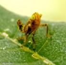 Coppery leafhopper nymph IMG_9631©Maria de Bruyn