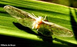 Derbid planthopper IMG_0717©Maria de Bruyn (2)