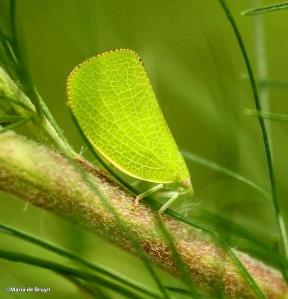 Flatid planthopper IMG_8772©Maria de Bruyn