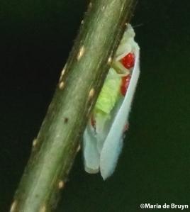 Flatid planthopper Ormenoides venusta IMG_9763©Maria de Bruyn