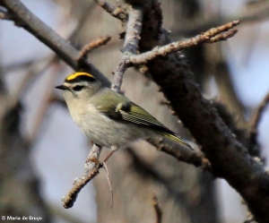 Golden-crowned kinglet IMG_5785II