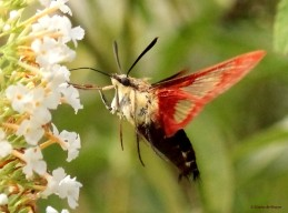 Hummingbird clearwing moth brown IMG_1822 MdB