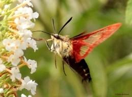 Hummingbird clearwing moth brown IMG_1822 MdB