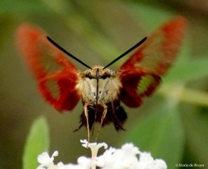 Hummingbird clearwing moth brown IMG_2701 M de Bruyn resized