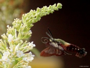 Hummingbird clearwing moth green IMG_1955 MdB