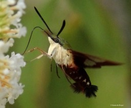 Hummingbird clearwing moth green IMG_2200 MdB