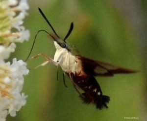 Hummingbird clearwing moth green IMG_2200 MdB