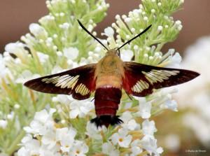 Hummingbird clearwing moth IMG_0027 MdB