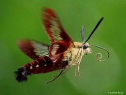Hummingbird clearwing moth IMG_9982 MdB