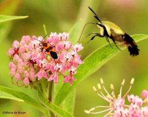 Large milkweed bug and snowberry clearwing moth IMG_6290©Maria de Bruynres