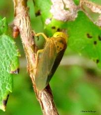 Leafhopper - Coelidia IMG_2649©Maria de Bruyn