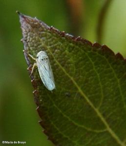leafhopper IMG_7673©Maria de Bruyn