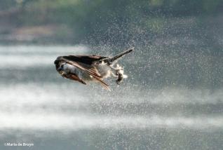 osprey IMG_0230©Maria de Bruyn res