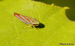Red-banded leafhopper IMG_6376©Maria de Bruynsigned