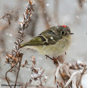 ruby-crowned kinglet IMG_2027©Maria de Bruyn