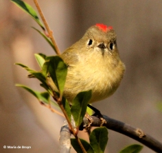 ruby-crowned kinglet IMG_2762 MdB (2)