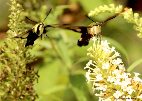 snowberry and hummingbird clearwing moths IMG_7461©Maria de Bruynres