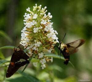 Snowberry clearwing moth IMG_8252dnr MdB