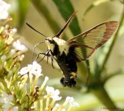 Snowberry clearwing moth IMG_8436dddd nr MdB