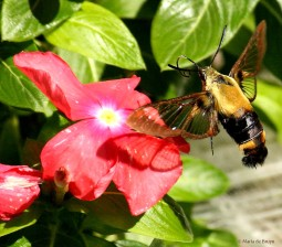 Snowberry Clearwing moth IMG_8492