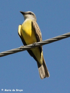 Tropical kingbird IMG_8113Z mdb