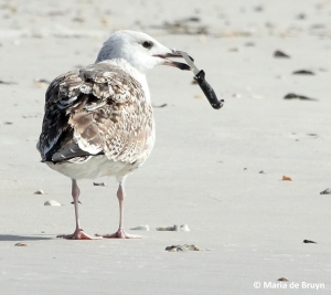 great black-backed gull IMG_4297© Maria de Bruyn