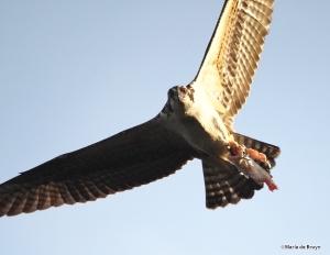 osprey IMG_5354©Maria de Bruyn res