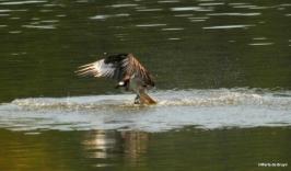 osprey IMG_5671©Maria de Bruyn 2 res