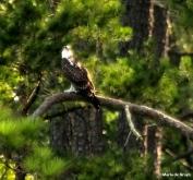 osprey IMG_5703©Maria de Bruyn res